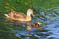 Free Mother Duck Swimming With Baby Royalty Free Stock Photo - 25398185