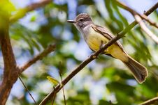 Free Tropical Kingbird Stock Image - 25390541