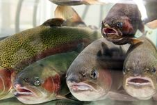 Free Live Aquarium Trout Fish In The Supermarket Stock Images - 25390804