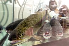 Live Aquarium Trout Fish For Sale Royalty Free Stock Photography