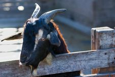 Black Goat Royalty Free Stock Photo