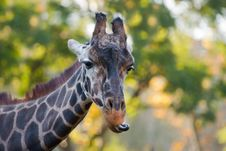 Free Giraffe Royalty Free Stock Images - 25397389