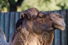 Free Camel Closeup Royalty Free Stock Images - 25397409