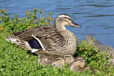 Free Mother Duck With Young Ducklings By Pond Royalty Free Stock Images - 25398199