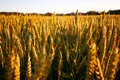 Free Golden Wheat Field Stock Photography - 2541982