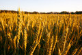 Free Golden Wheat Field Stock Photos - 2542013