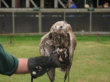 Free Saker Falcon Royalty Free Stock Photography - 2540327