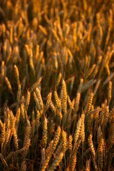 Free Golden Wheat Field Stock Photo - 2540840