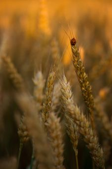 Free Golden Wheat Field Stock Photo - 2541230
