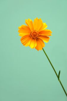 Free Single Daisy Royalty Free Stock Photo - 2541905