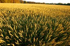 Free Golden Wheat Field Royalty Free Stock Image - 2542056