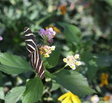 Zebra Longwing Ybutterfl Royalty Free Stock Image