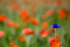 Red Poppies And Cornflower Stock Photos