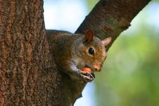Free Squirrel With Nut Stock Images - 2544914