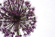 Free Allium Royalty Free Stock Image - 2545276