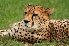 Free Cheetah Gaze Royalty Free Stock Image - 2546126