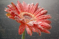 Red Gerbera With Bubbles Stock Photo