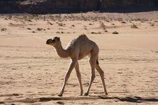 Free Camel In The Desert Stock Image - 2546501