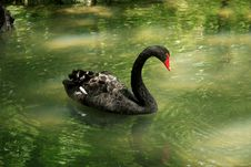 Free Black Swan Stock Photography - 2546712