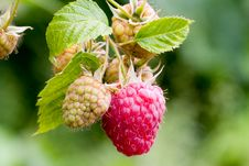 Free Red Raspberry Royalty Free Stock Image - 2547826