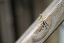Free Praying Mantis On Slope Stock Photos - 2548343