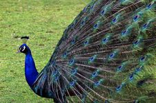 Free Peacock Royalty Free Stock Photography - 2548367