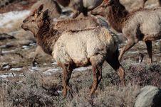 Free Elk Stock Photo - 2548470