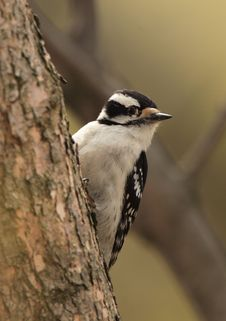 Free Downy Woodpecker Royalty Free Stock Photos - 2548488