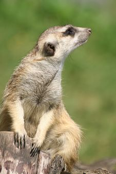 Free Suricate (meercat) Stock Photos - 2549043