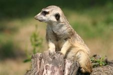 Free Suricate (meercat) Stock Photography - 2549122