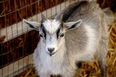 Free Billy Goat Stock Photos - 2549273