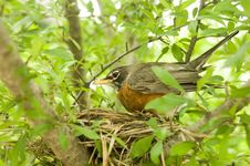 Robin In A Nest Stock Photo
