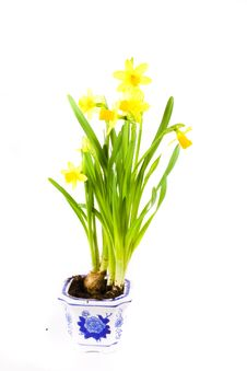 Free Yellow Daffodil Royalty Free Stock Photo - 2549745