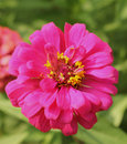 Free Pink Gerberas Royalty Free Stock Photos - 25401308