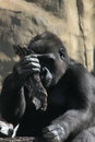 Free Monkey. Gorilla. Stock Image - 25403581