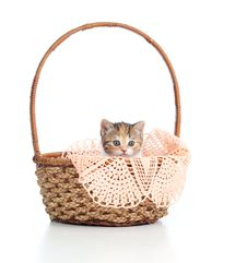 Funny Scottish Cat Sitting Inside Basket Stock Photography