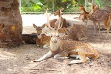 Free Chital Deer Royalty Free Stock Photo - 25401905