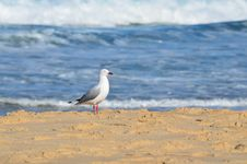 Free Seagull On The Beach. Stock Images - 25403074