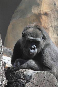 Free Monkey. Gorilla. Stock Photo - 25403670