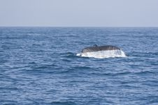 Free Humpback Whale Fluking Tail In The Pacific Ocean. Stock Images - 25406734