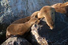 Free Wild Sea Lions Royalty Free Stock Photo - 25408785