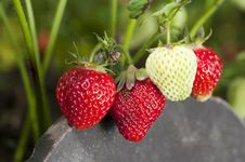 Free Strawberries Royalty Free Stock Photography - 25408957