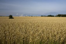 Free Field Of Grain Stock Photo - 25408970