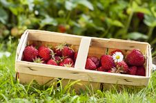 Free Strawberries Royalty Free Stock Images - 25409049