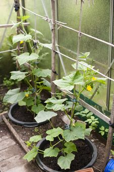 Free Cucumber Plant Royalty Free Stock Images - 25409159