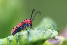 Free Red Milkweed Beetle Stock Photo - 25409800