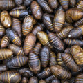 Free Silkworm Cocoons Stock Photos - 25410683