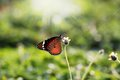 Free Monarch Butterfly On A Flower Feeding On Nectar Royalty Free Stock Images - 25414999