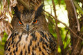 Free Eagle Owl Stock Image - 25419921
