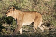 Free Strolling Wet Old Lioness Stock Image - 25410501